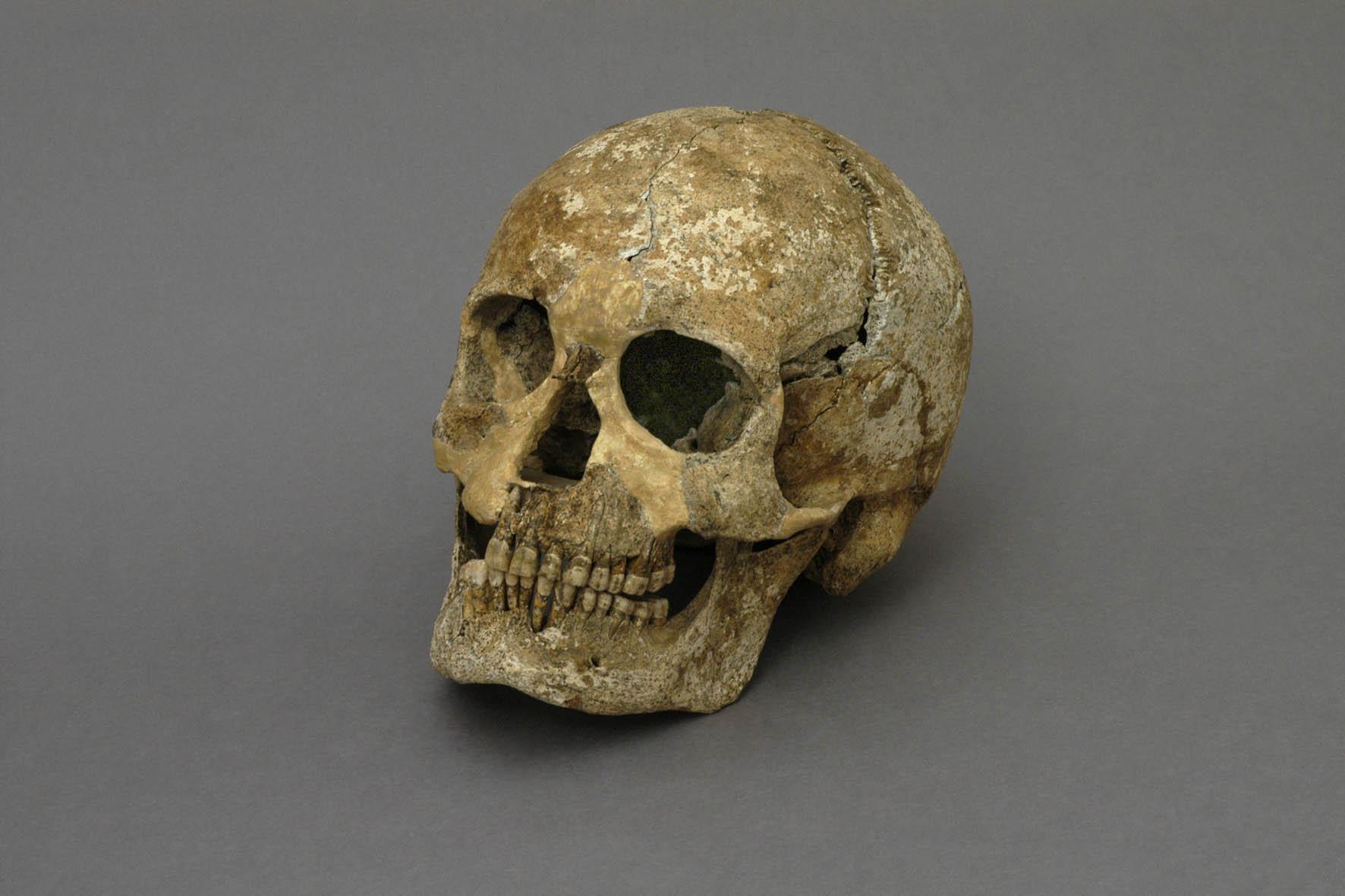 Skull of the oldest Antwerper